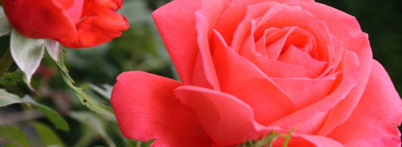 Ce înseamnă când visezi trandafiri? Interpretarea visului în