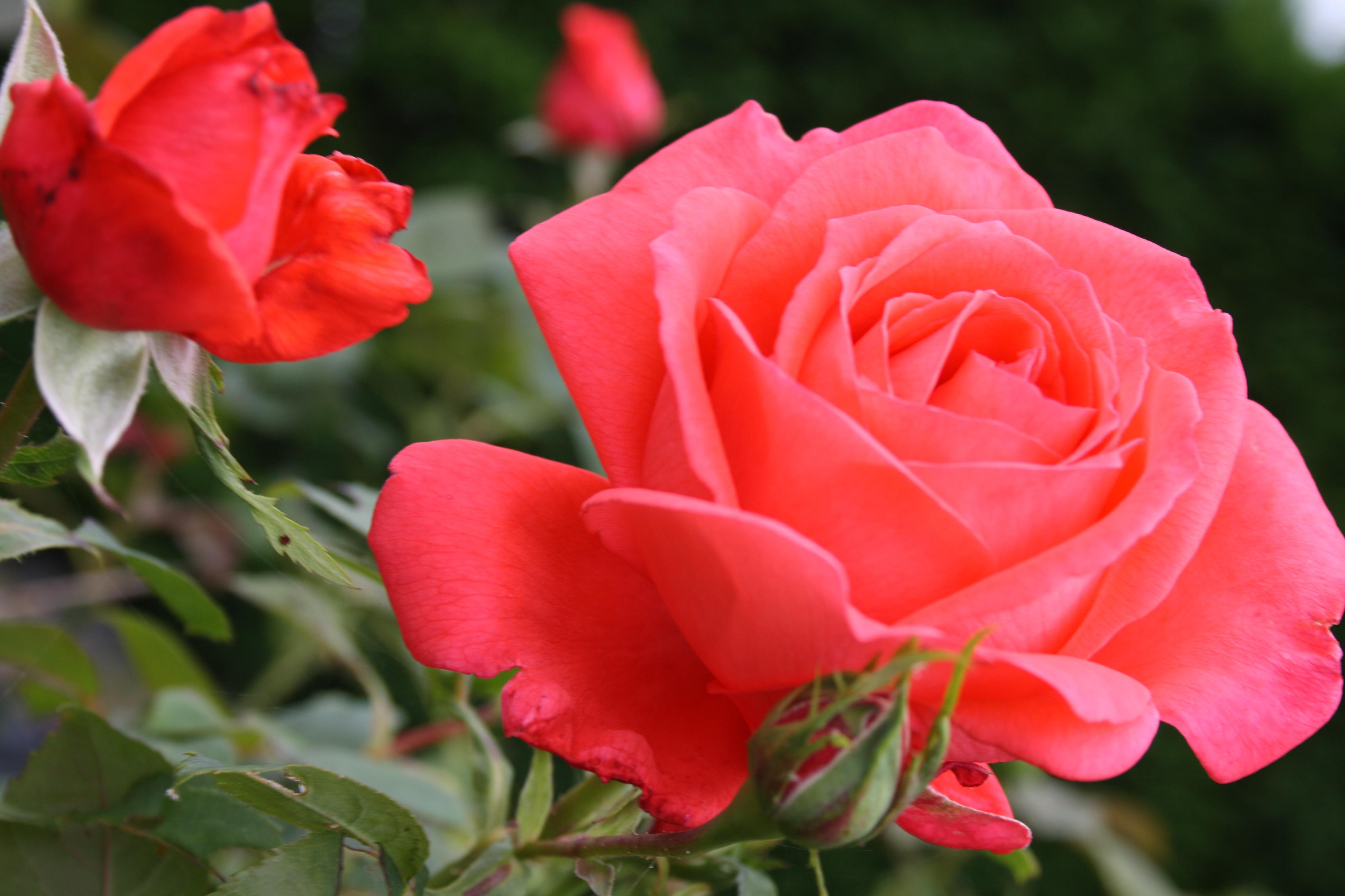 Cand visezi negi rosii