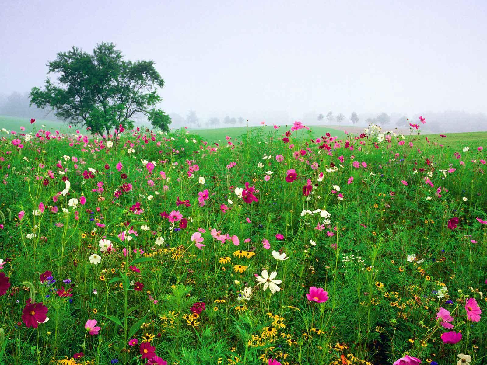 Imagini pentru flori de câmp