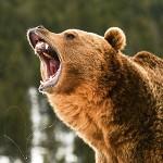 Ce inseamna cand visezi un urs? Interpretarea visului in are apare un urs